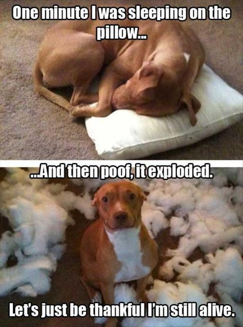 I only slept on the pillow for a minute . Source by mariaseibt dog dog memes dog videos videos wallpaper dog memes dog quotes dogs dogs pictures dogs videos puppies puppy video Funny Animal Jokes, Funny Dog Memes, Cute Funny Animals, Cute Baby Animals, Funny Cute, Super Funny, Cat And Dog Memes, Funny Dog Sayings, Funny Dog Pics