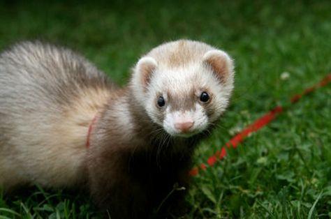 Domestication May Have Enhanced Certain Cognitive Abilities Of Ferrets Ferret Cute Ferrets Pet Ferret