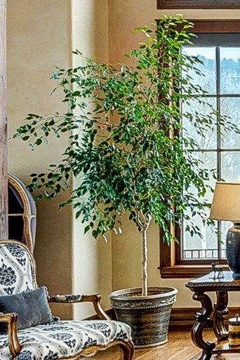 Poisonous Interior Plants For Dogs Cats The Girl With A Shovel Large Indoor Plants Ficus Tree Indoor Indoor Plants