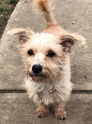 Elmwood Park Nj Terrier Unknown Type Small Meet Foo Foo A Dog For Adoption Adoption Terrier Pets