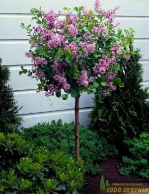 Alyva Flowerfest Purple Dwarf Trees For Landscaping Lilac Tree Trees For Front Yard
