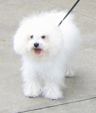 Bolognese Dog Breed Information And Pictures Dog Breeds Bolognese Dog Bichon Bolognese