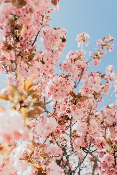 Brown Leaves Photo Free Sunlight Image On Unsplash Cherry Blossom Pictures Cherry Blossom Images Pink Blossom Tree