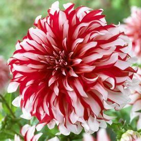 Van Zyverden 5 Count Dahlia Bulbs Lowes Com Bulb Flowers Amazing Flowers Pretty Flowers