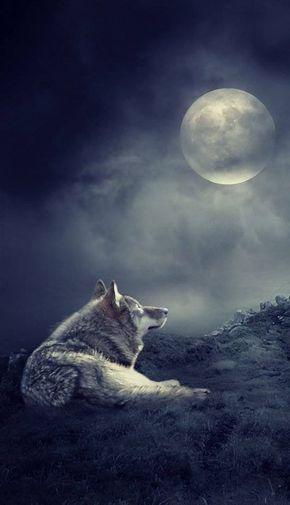 Loup Hurle Soir Pleine Lune Illustration Foret Nuit Noire Loup