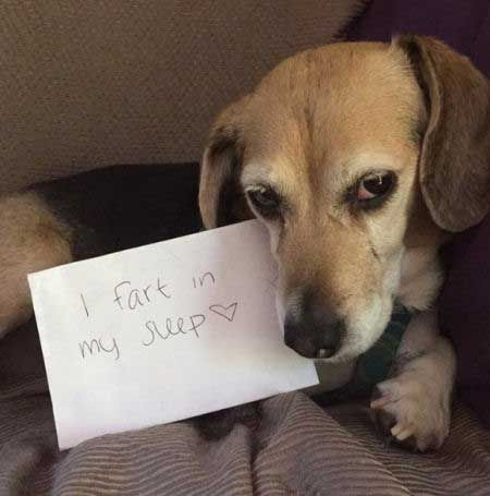 The Ultimate Beagle Humor Beagle Memes And Funny Beagle Dog Pics