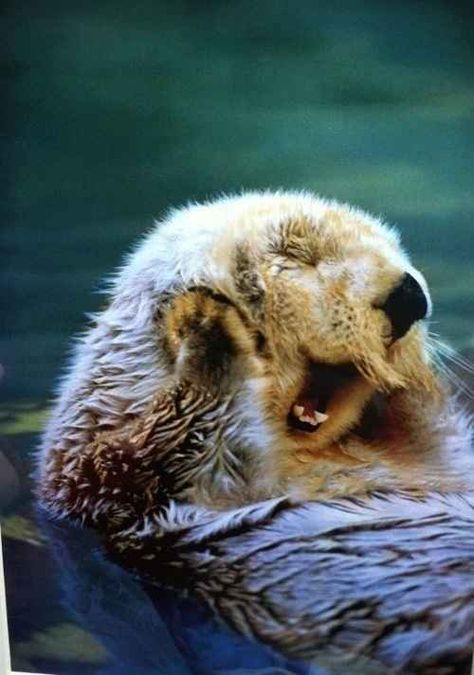 The moment when this otter broke the world otter record for longest unbroken yawn. | The 35 Happiest Moments In Animal History