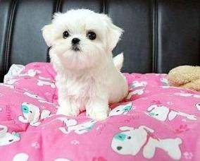 Teacup Maltese Puppies For Sale Near Me Maltese Breeders Puppies In 2020 Maltese Puppies For Sale Maltese Puppy Teacup Puppies Maltese