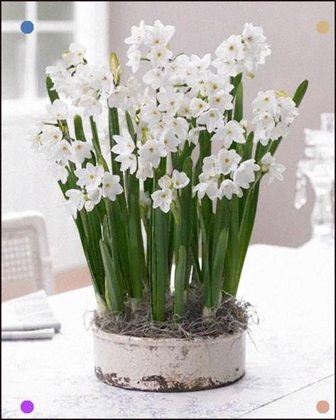 All About Paperwhites Bulb Flowers