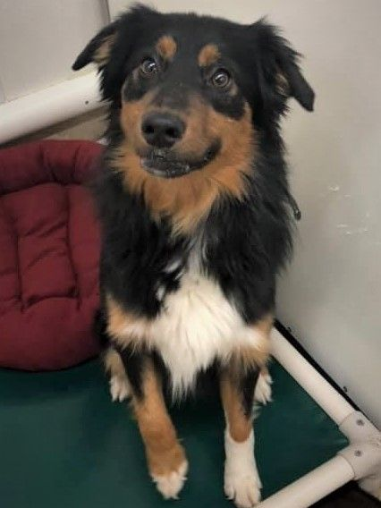 Is This Your Dog Chisago City Australian Shepherd Bernese Mountain Dog Male Date Found 12 09 2019 Breed Of D Losing A Dog Bernese Mountain Dog Dog Ages