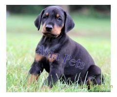 Doberman Puppy For Sale In Kathmandu Best Price In Nepal Doberman Puppies For Sale Puppies For Sale Doberman Puppy