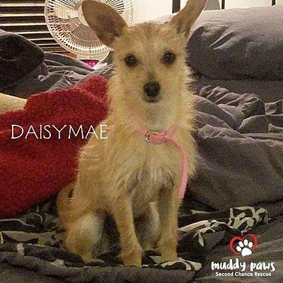 Council Bluffs Ia Chihuahua Meet Daisymae A Pet For Adoption Pet Adoption Chihuahua Paws Rescue
