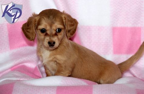 Chiweenie Puppies For Sale Chiweenie Puppies Puppies For Sale