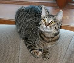 Image Result For Photos Of Black And White Striped Cat Breeds