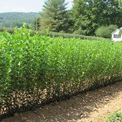 North Privet Hedge For Sale Privet Hedge Privacy Landscaping