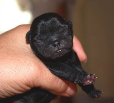 New Black Pug Puppy Born With Images Black Pug Puppies Cute