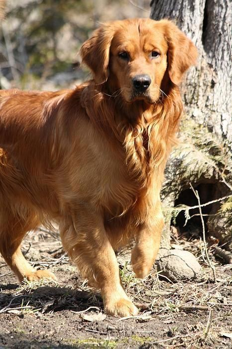 Golden Retriever Maximus He S Very Protective Of The Younger