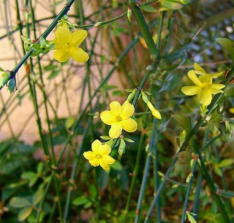 Arbusto Fiori Gialli.Gelsomino Giallo Piante Da Giardino Giardino D Inverno Arbusti