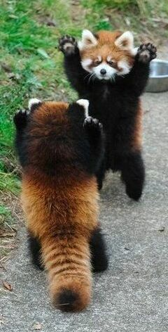 Red Pandas Remind Us To Greet Each Other Enthusiastically With
