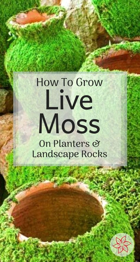 How To Grow Moss On Planters And Landscape Rocks - - See how to grow moss on pots, rocks, and allot more in your yard and landscape. Container Water Gardens, Container Gardening, Gardening Tips, Vegetable Gardening, Landscaping With Rocks, Backyard Landscaping, Backyard Retreat, Modern Landscaping, Backyard Patio