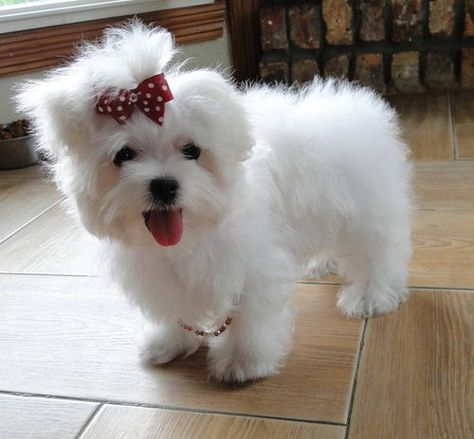 Teacup Maltese Teacup Maltese Puppies For Sale Pets For Sale