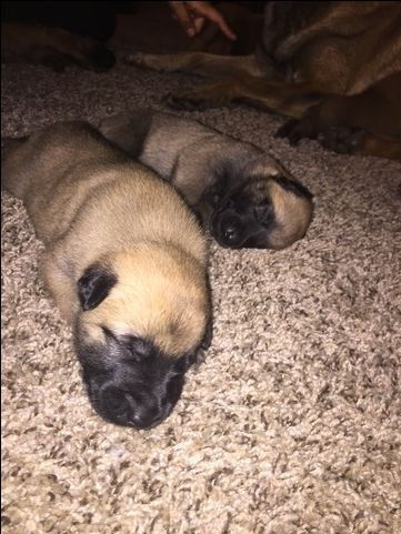 Litter Of 9 Belgian Malinois Puppies For Sale In Ontario Ca Adn