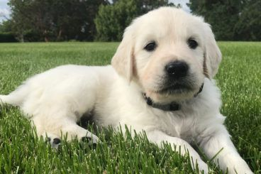 English Cream Golden Retriever Puppy For Sale In Southern Oregon