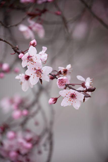 Pin By Santa Beiere On đi Nhặt Khắp Nơi Flowers Photography Sakura Flower Beautiful Flowers