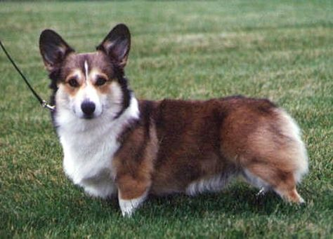 Sable Coat Colour Dogs Corgi Dog Corgi