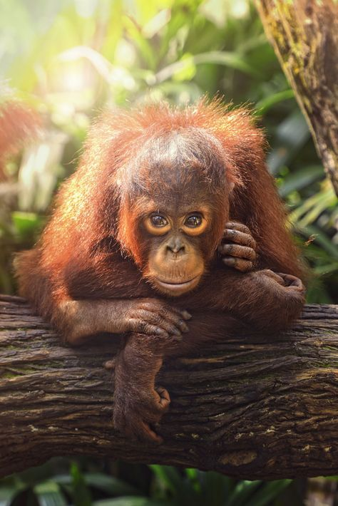 Baby Orangutan by toonman blchin | Orangutans have been known to watch villagers use boats to cross the local waterways and then untie a boat and ride it across the river on their own.