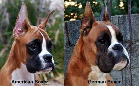Havenwoods Boxers Top Quality Akc German European And American