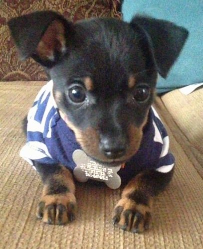 A Small Black With Tan Jack Chi Puppy Is Wearing A Blue And White Striped Shirt Laying On A Tan Couch Chi Dog Baby Animals Jack Russell Puppies