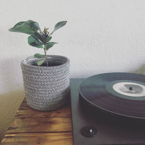 recordplayer My new baby Fiddle Leaf Fig...
