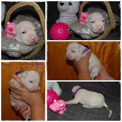 Beautiful Newborn Amstaff Girl Ulissa Looking Her Perfect Ho American Staffordshire Terrier Puppies American Staffordshire Terrier Staffordshire Terrier Puppy