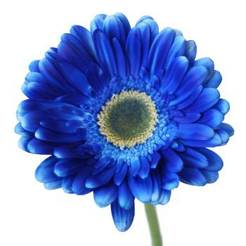 Bulk Blue Enhanced Gerbera Daisy Flowers Have Colorful Daisy Heads That Are Nearly Flawless In Form Our Gerberas Ar Gerber Daisies White Daisy Bouquet Flowers