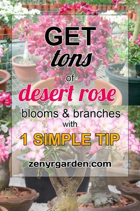 Pruning Roses In Mild Climates Rose Care Growing Roses Hybrid Tea Roses