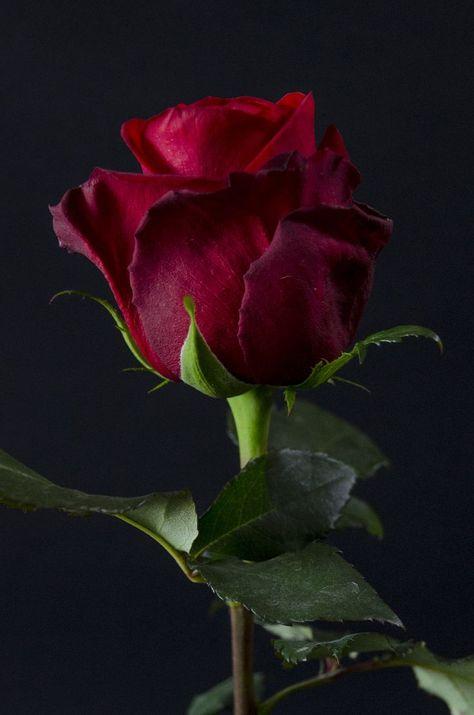 EDEN-  Eden Roses Ecuador #Blumen #Rosen #Ecuador #FirstEcuador #Ecuador