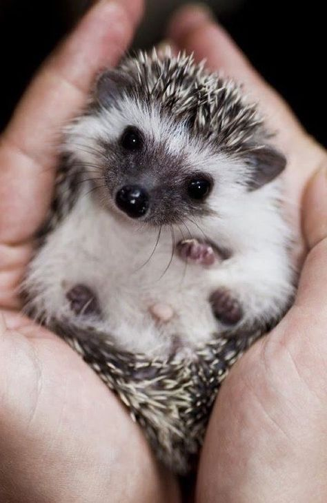 Hedgehog Spiny little buddy: by Kompas Corner on @stellerstories