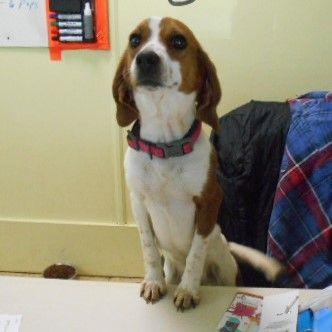 Adopt Rona On Adoptable Beagle Pet Finder Beagle