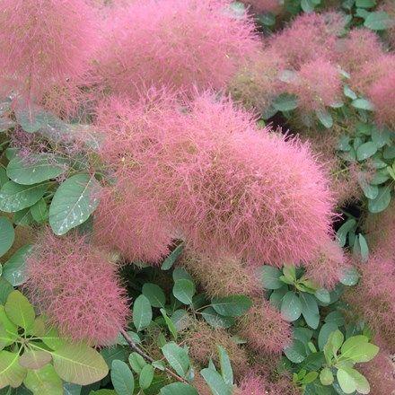 Cotinus Candy Floss Smoke Bush