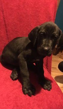 Great Dane puppy for sale in LONDON, KY  ADN-59965 on PuppyFinder