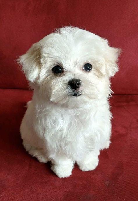 So Adorable Maltese Teacup Puppies Maltese Cute Baby Animals