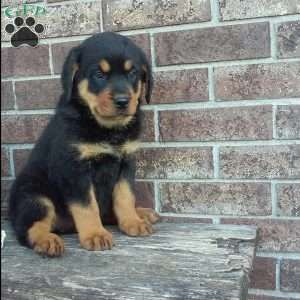 Rottweiler Puppies For Sale Rottweiler Breed Profile Rottweiler Puppies For Sale Rottweiler Puppies Rottweiler Breed