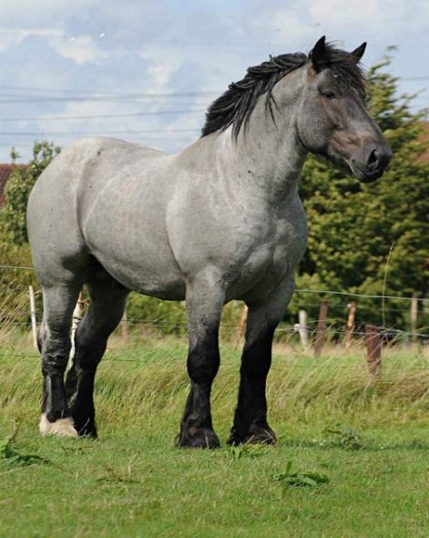 Brabant, or Belgian Trekpaard, stallion Branco. Roans are quite common, as are solid colors. The Belgian Draft Horse of the US is more likely descended from the Flemish Horse and is flaxen chestnut in color. photo: Ton van der Weede.