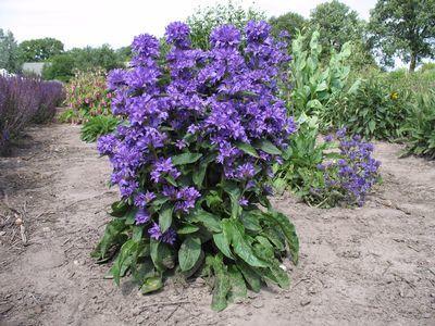 Freya Bellflower Perennial Campanula Gallon Pot Perennials Plants Garden Flowers Perennials