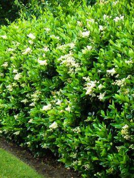 Waxleaf Privet Hedges Privet Hedge Shrubs