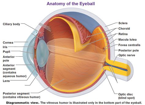 eye ball anatomy 1000 images about eyeball on pinterest ha definition human  eye