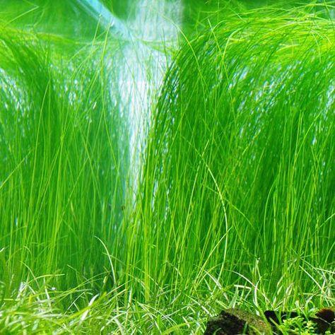 Plantas de acuario Eleocharis acicularis