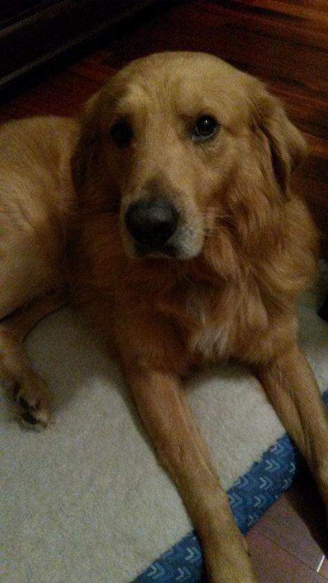 Adopt Tucker On Petfinder Dog Potty Training Dogs Golden Retriever Dog Safe