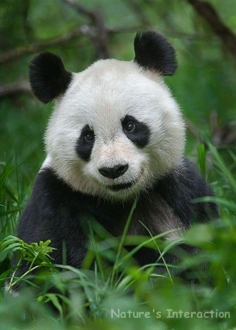 Set of quantity 5: Panda Portrait Photo Card by NaturesInteraction